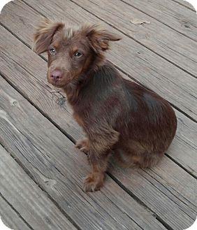 Papillon/Dachshund Mix Puppy for adoption in Springtown, Texas - Murphy