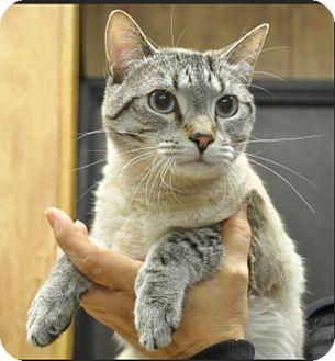 Siamese Cat for adoption in Smithers, British Columbia - Max