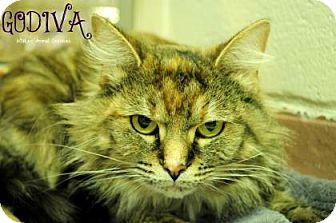 Domestic Shorthair Cat for adoption in Hamilton, Ontario - Godiva