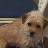 Norwich Terrier Mix Dog for adoption in Sagaponack, New York - Logan