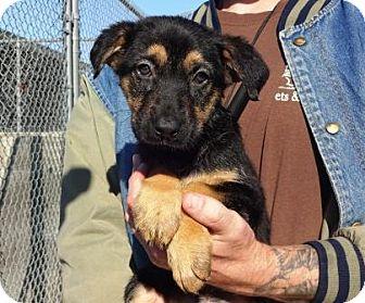 German Shepherd Dog Mix Puppy for adoption in Lathrop, California - Morgan