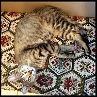 Domestic Shorthair Cat for adoption in Schertz, Texas - Whiskers CA