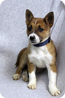 Australian Shepherd Mix Puppy for adoption in Westminster, Colorado - ZOE