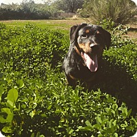 Adopt A Pet :: Pocco - Gilbert, AZ