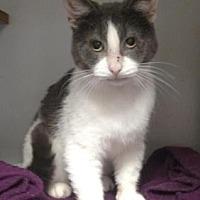 Domestic Shorthair/Domestic Shorthair Mix Cat for adoption in Ashtabula, Ohio - Odie