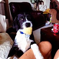 Adopt A Pet :: Roux - Rocky Hill, CT