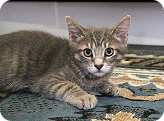 American Shorthair Kitten for adoption in Los Angeles, California - Fonzie