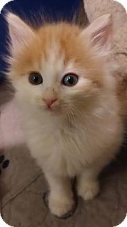 Domestic Mediumhair Kitten for adoption in Concord, North Carolina - Taffy