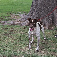 Pit Bull Terrier Mix Dog for adoption in Odessa, Texas - A33 Rob