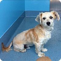 Adopt A Pet :: Bindi - Encino, CA