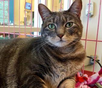 Domestic Shorthair/Domestic Shorthair Mix Cat for adoption in Houston, Texas - Cinco