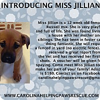 Adopt A Pet :: Jillian - Sumter, SC