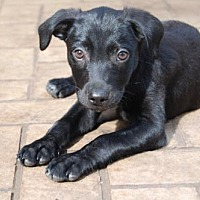 Adopt A Pet :: PUPPY PEPPERJACK - richmond, VA