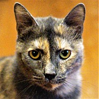 Adopt A Pet :: Lucy (Cat 8 yrs) - Bealeton, VA