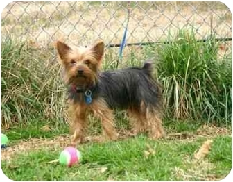 Yorkie, Yorkshire Terrier Dog for adoption in Muldrow, Oklahoma - Tracy