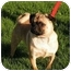Photo 1 - Pug Puppy for adoption in Rigaud, Quebec - Simba