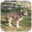 Photo 2 - Chihuahua/Rat Terrier Mix Dog for adoption in North Wilkesboro, North Carolina - Polo