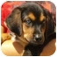 Photo 2 - Doberman Pinscher/Australian Shepherd Mix Puppy for adoption in Pisgah, Alabama - Russell