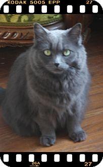 Domestic Mediumhair Cat for adoption in Duart, Ontario - Booo
