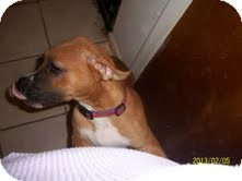 Boxer Mix Puppy for adoption in justin, Texas - Princess