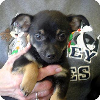 Chihuahua/Pomeranian Mix Puppy for adoption in Greencastle, North Carolina - Blinkin