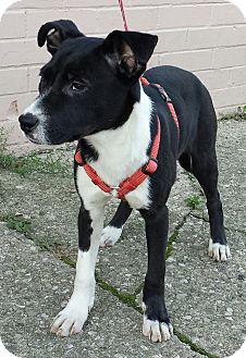 Border Collie/English Pointer Mix Puppy for adoption in Struthers, Ohio - Bindi   4 MTHS OLD
