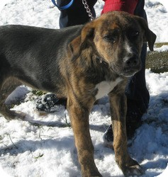 Plott Hound Mix Puppy for adoption in Mineral, Virginia - Mickey