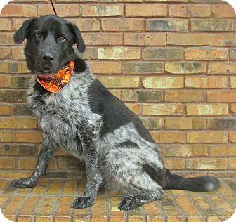 Australian Shepherd/Retriever (Unknown Type) Mix Dog for adoption in Benbrook, Texas - Marley