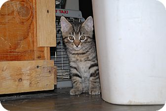 Domestic Shorthair Kitten for adoption in Ridgway, Colorado - Rossi and Prentiss