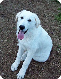 Great Pyrenees/Anatolian Shepherd Mix Puppy for adoption in Waller, Texas - Luke