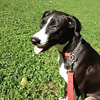 Hound (Unknown Type)/Labrador Retriever Mix Dog for adoption in New York, New York - Hannah