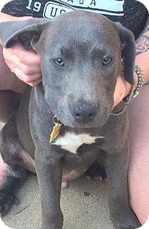 Pit Bull Terrier Mix Puppy for adoption in Sinking Spring, Pennsylvania - Bingo
