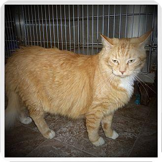 Norwegian Forest Cat Cat for adoption in Medford, Wisconsin - PUMKIN