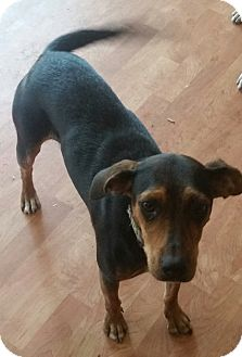 Miniature Pinscher/Beagle Mix Dog for adoption in Rosemount, Minnesota - Maybelle