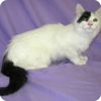 Domestic Mediumhair Cat for adoption in Powell, Ohio - Edwina