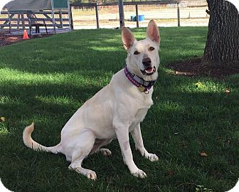 German Shepherd Dog Mix Dog for adoption in Walnut Creek, California - Luna