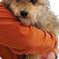 Adopt A Pet :: Beckett-ADPOPTION PENDING - Boulder, CO