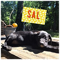 Adopt A Pet :: Sal in CT - Manchester, CT