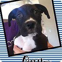 Adopt A Pet :: Onyx - Scottsdale, AZ