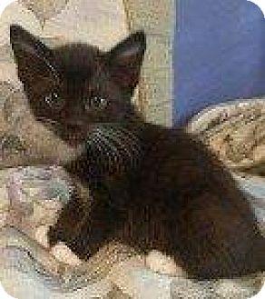 Domestic Shorthair Kitten for adoption in Hampton, Virginia - CABANA (CLAIR BABY)
