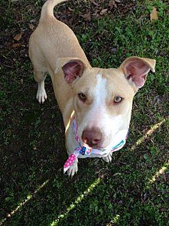 Labrador Retriever Dog for adoption in Glastonbury, Connecticut - AnnieBelle