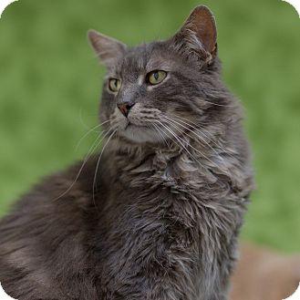 Domestic Mediumhair Cat for adoption in Houston, Texas - Yoda