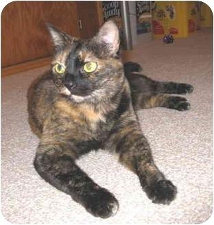 Domestic Shorthair Cat for adoption in Mesa, Arizona - Suka