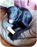 Labrador Retriever Mix Dog for adoption in Torrance, California - Cramer