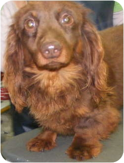 Dachshund Dog for adoption in Chattanooga, Tennessee - Buster