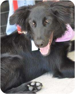 Flat-Coated Retriever Mix Dog for adoption in San Angelo, Texas - Logan