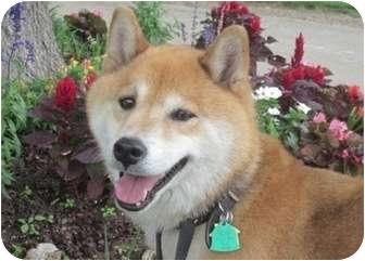 Shiba Inu Dog for adoption in Round Lake, Illinois - Haku (Oklahoma)