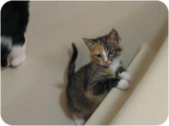 Domestic Shorthair Kitten for adoption in Eagan, Minnesota - Chloe