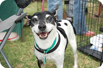 Rat Terrier Dog for adoption in Edmond, Oklahoma - Levi