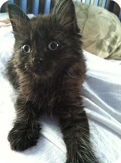 Domestic Shorthair Kitten for adoption in St. Louis, Missouri - Nigel